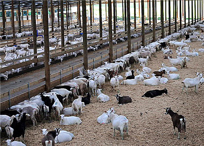 Goat Manure Can be Recycled as High Quality Organic Manure Raw Material