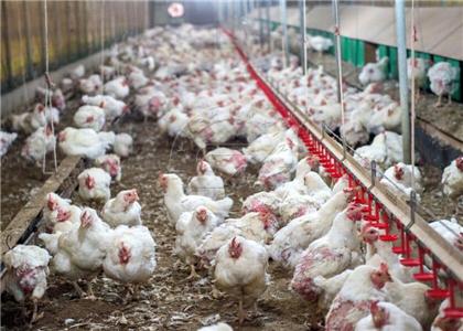 Scaled chicken breeding farm for fertilizer project